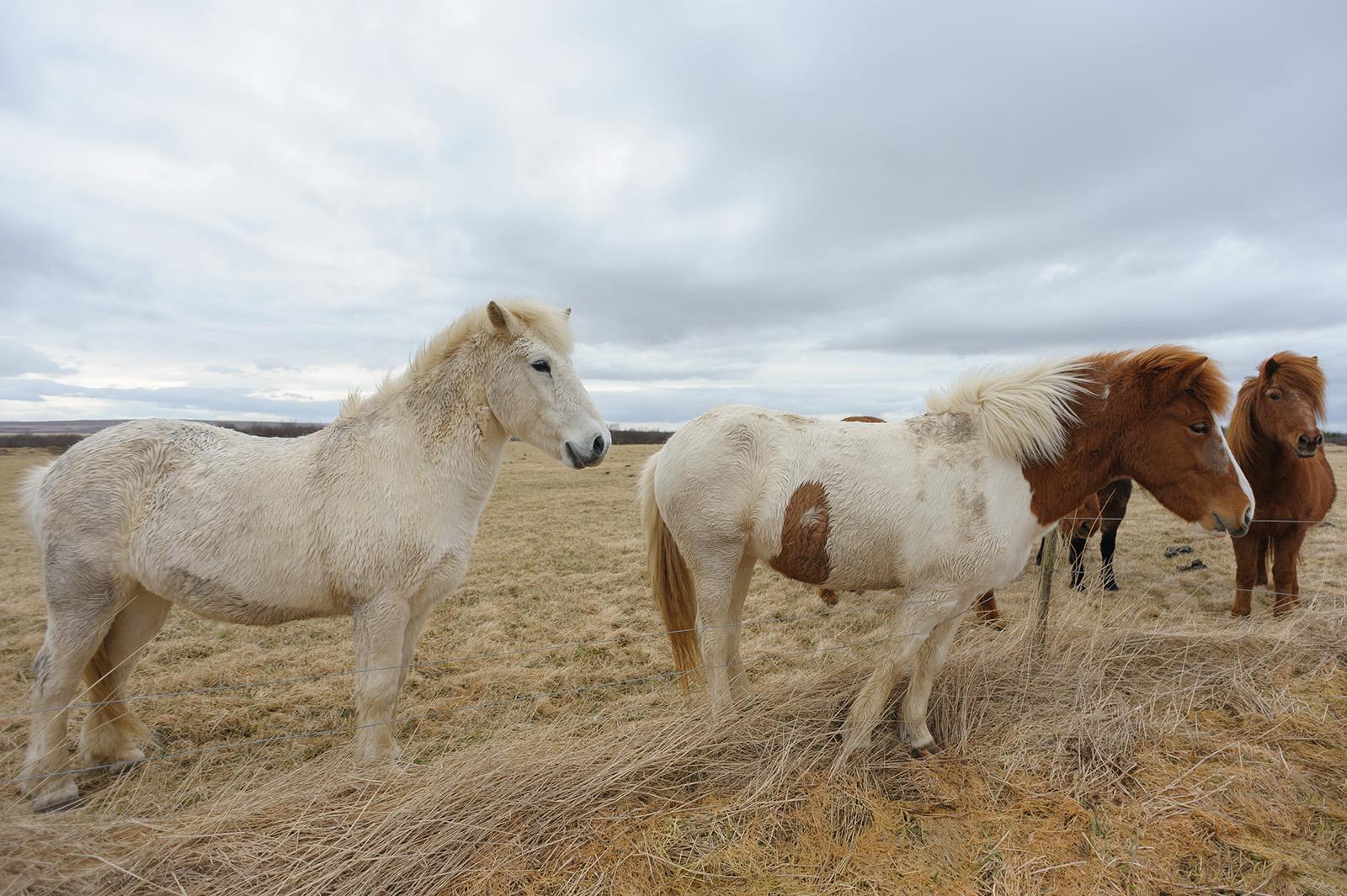 Íslenski hesturinn - Исландская лошадь, покинувшая пределы страны, назад уже попасть не сможет.