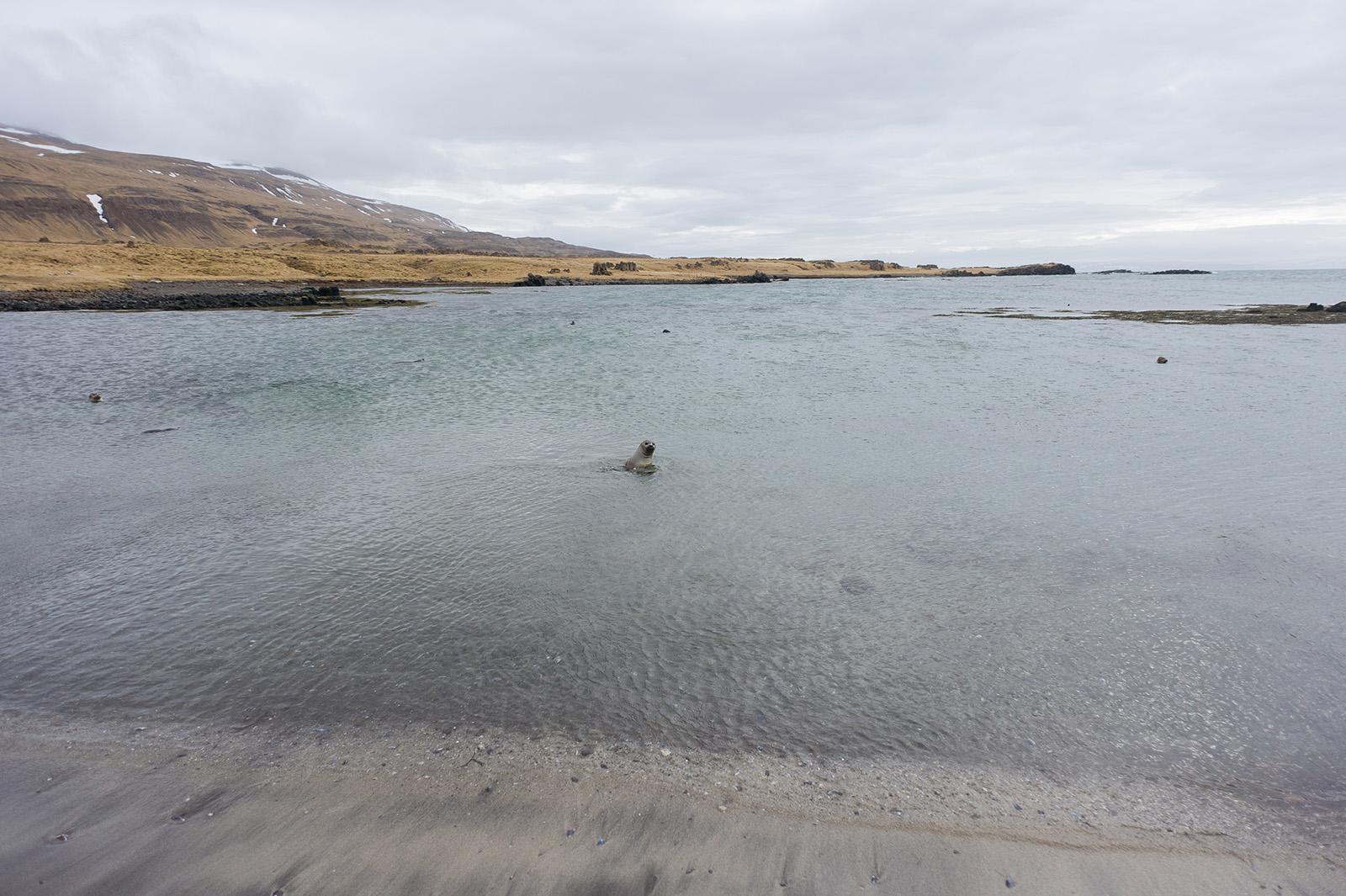 Norðurland vestra. Морские котики с интересом наблюдают за людьми с безопасного расстояния из воды.