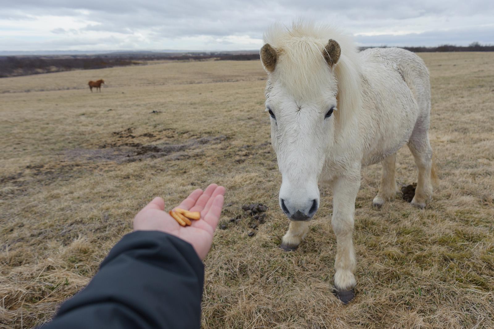 Íslenski hesturinn - Из-за того, что на протяжении истории исландские лошади ни разу не встречались с хищниками, они очень дружелюбные, доверчивые и не боятся человека.